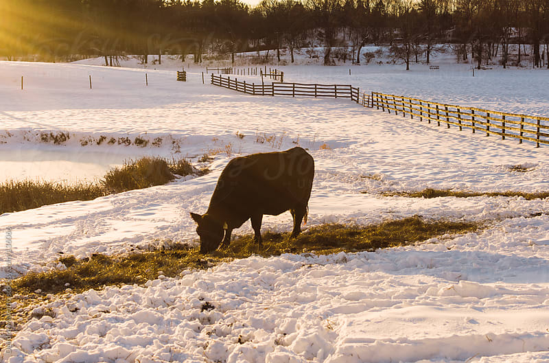 cow grazing in snow by Deirdre Malfatto for Stocksy United