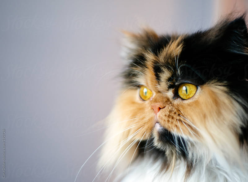 Calico Persian cat with golden eyes by Cara Dolan for Stocksy United