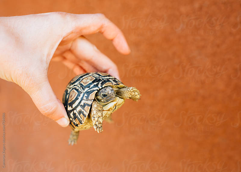 hand holding young tortoise in Tanzania by Cameron Zegers for Stocksy United