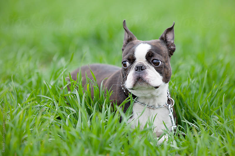 Boston terrier puppy by Emoke Szabo for Stocksy United