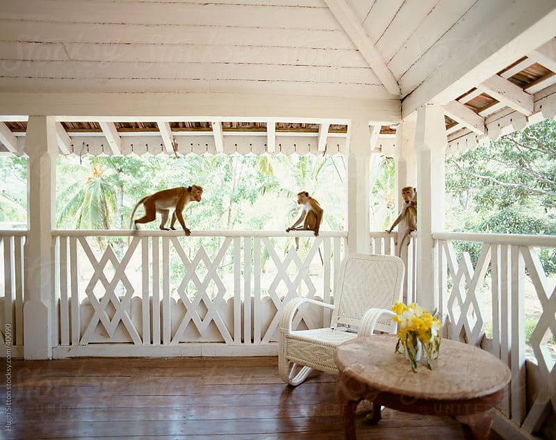 Monkeys playing on varanda. Sri Lanka by Hugh Sitton for Stocksy United