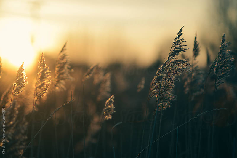 Grasses at sunset by Kirstin Mckee for Stocksy United