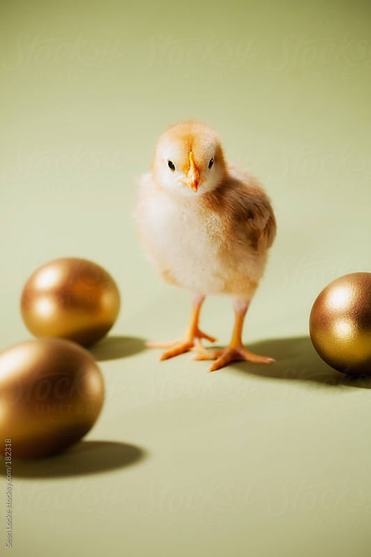 Chicks: Baby Chick Walks Among Golden Eggs by Sean Locke for Stocksy United