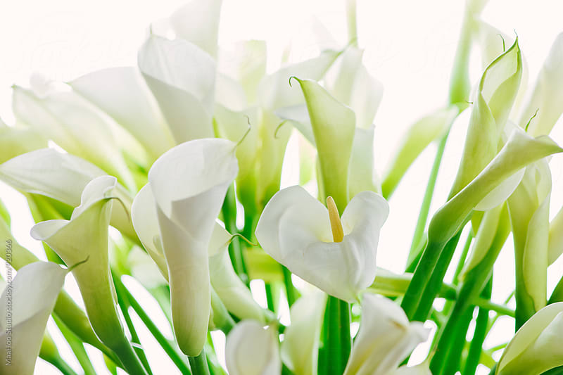 Callas flower by MaaHoo Studio for Stocksy United