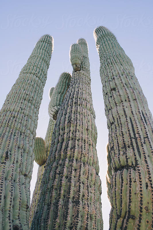 Cactus by luke + mallory leasure for Stocksy United