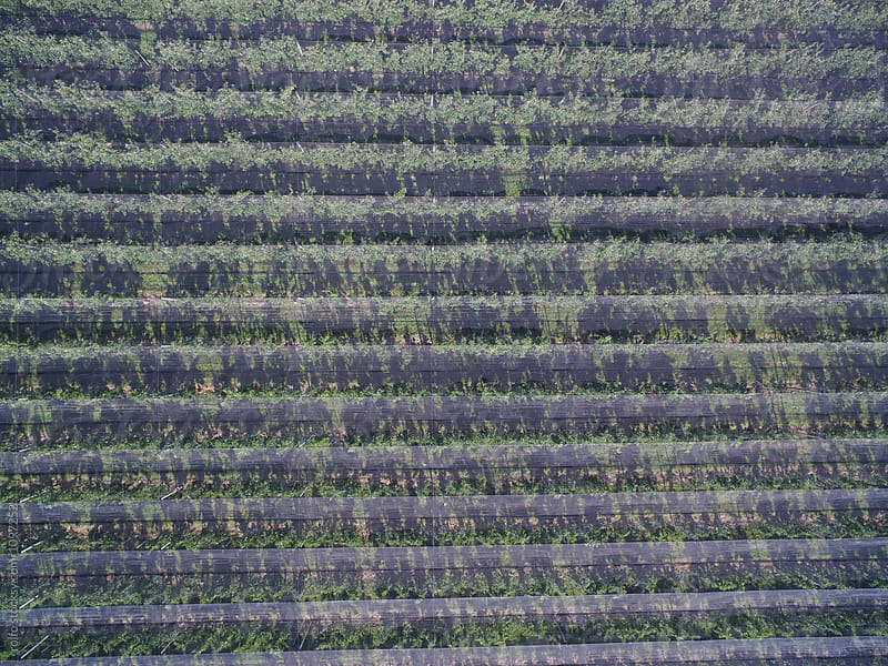 Above view of apple orchards with hail nets by rolfo for Stocksy United