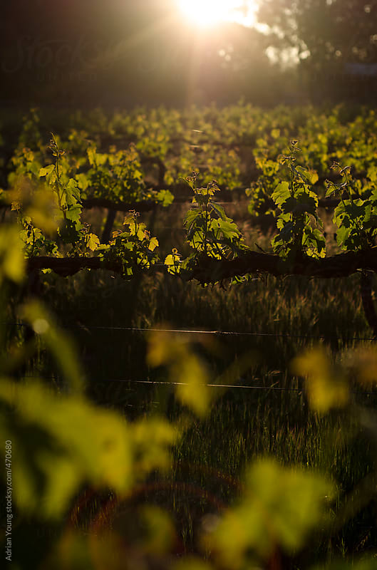 Sunset Over A Boutique Vineyard by Adrian P Young for Stocksy United
