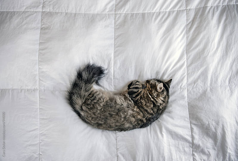Tabby cat sleeps on a white down comforter by Cara Dolan for Stocksy United