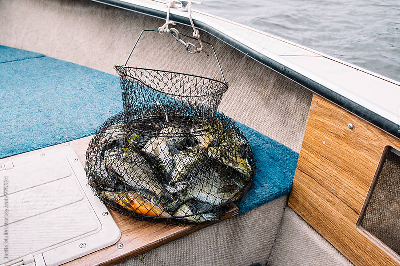 A basket full of fresh water fish.  by Justin Mullet for Stocksy United