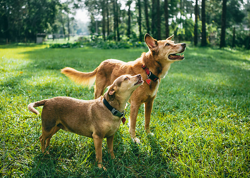 Two Friendly Dogs in a Yard by Stephen Morris for Stocksy United