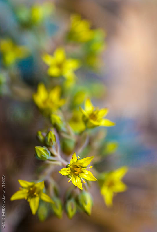 Sedum Graptopetalum blooms by ALAN SHAPIRO for Stocksy United