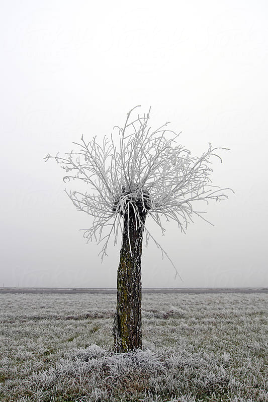 Pollarded willow in foggy field by Marcel for Stocksy United