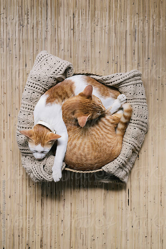 Two Sleeping Cats by Alexander Grabchilev for Stocksy United