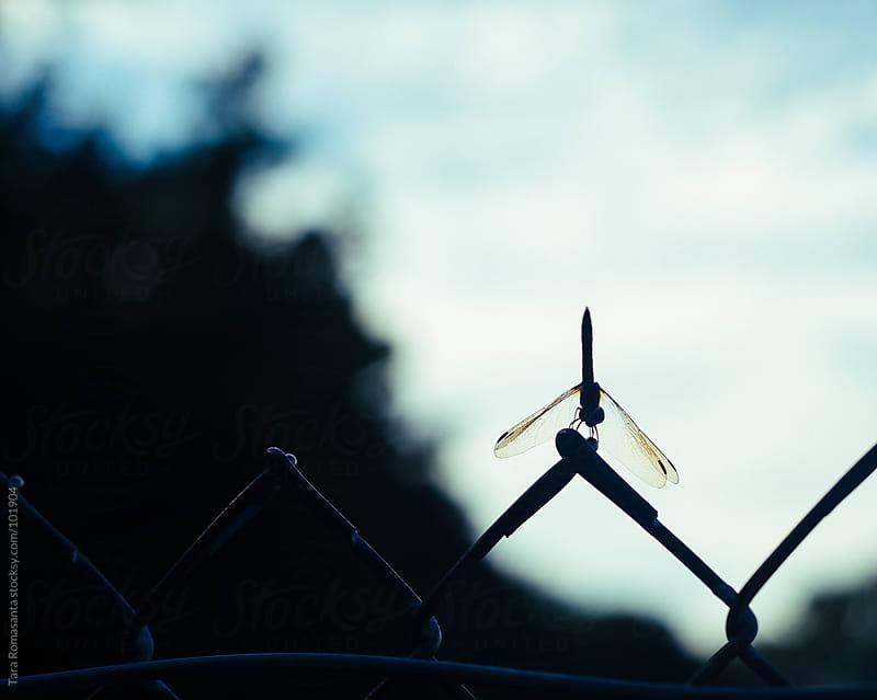 dragonfly on a fence at dusk by Tara Romasanta for Stocksy United