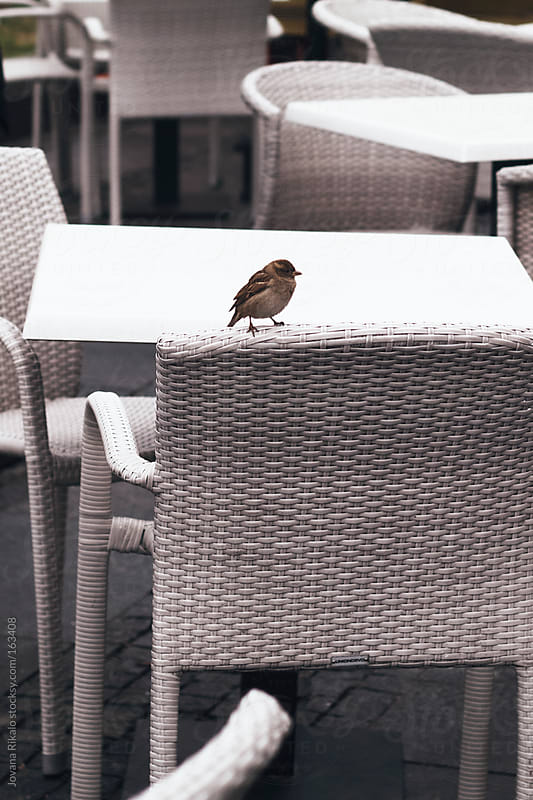 Cute little sparrow on a chair by Jovana Rikalo for Stocksy United