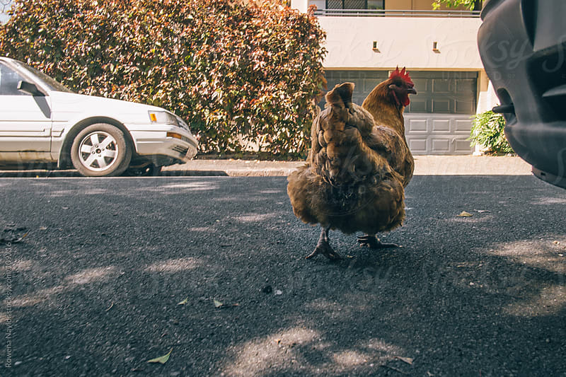 Why did the Chicken Cross the Road? by Rowena Naylor for Stocksy United