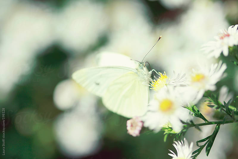White butterfly on white Aster flower with focus on its antenna by Laura Stolfi for Stocksy United