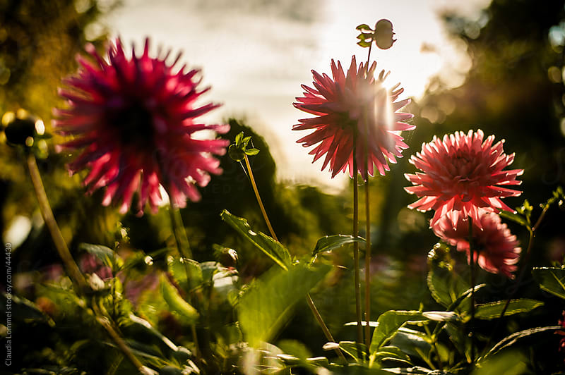 Chrysanthemum Flowers Before Sunset by Claudia Lommel for Stocksy United