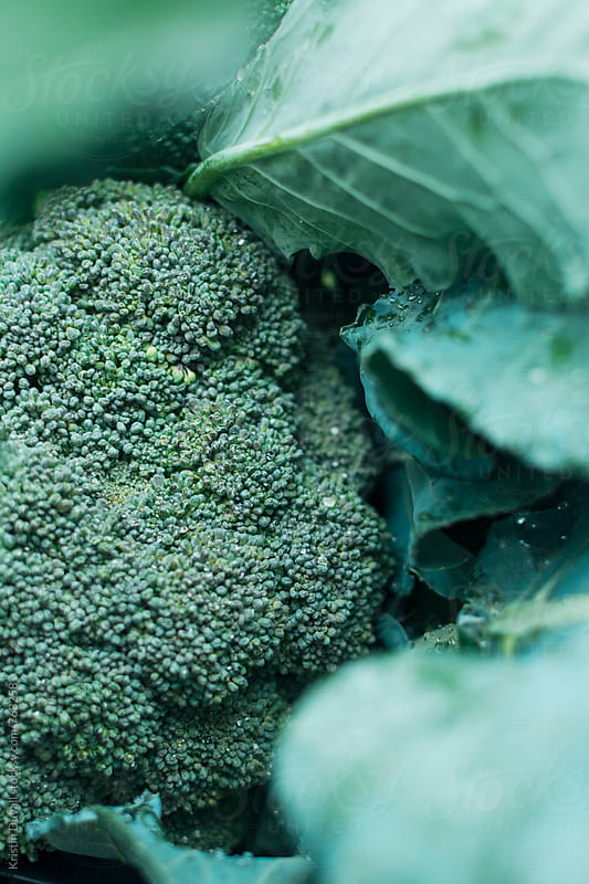 Fresh broccoli by Kristin Duvall for Stocksy United