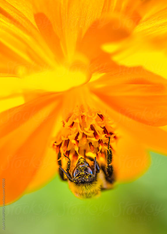 Bee pollinating a yellow flower by alan shapiro for Stocksy United