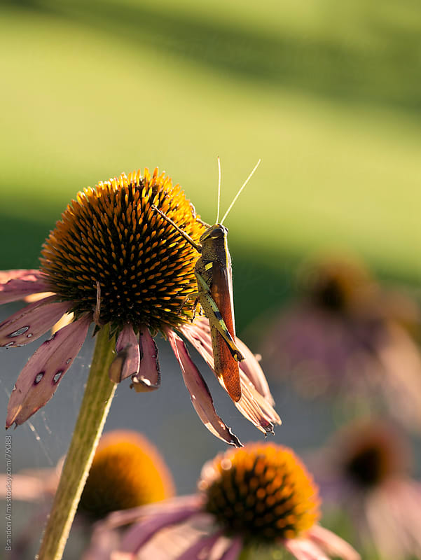 Grasshopper Macro on a Coneflower by Brandon Alms for Stocksy United
