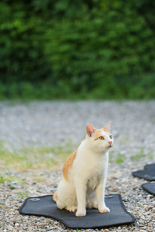 Cat sits on car carpet and looks away by Laura Stolfi for Stocksy United