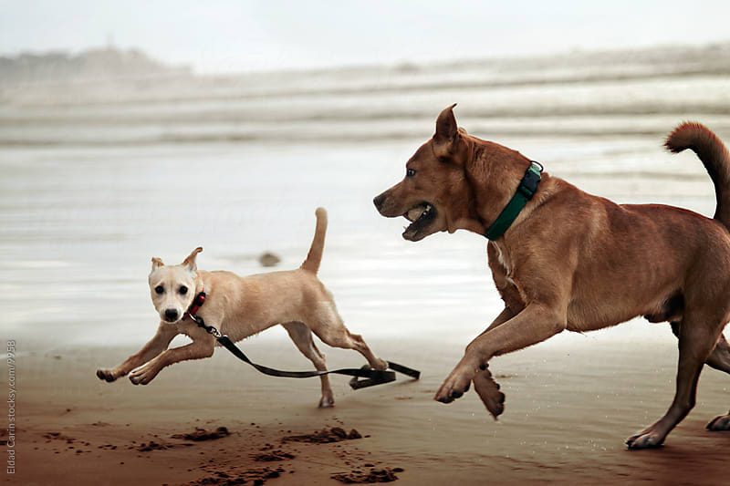 Dog & Puppy Running on Winter Beach by Eldad Carin for Stocksy United