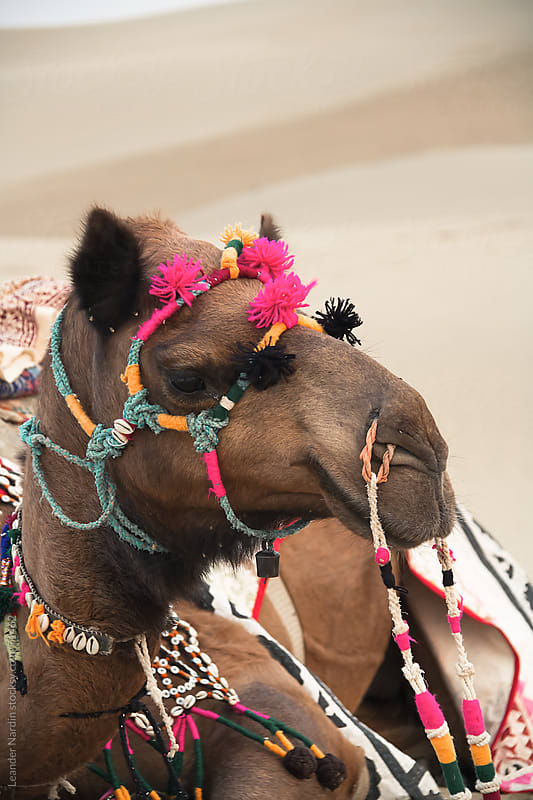 Camel Portrait by Leander Nardin for Stocksy United