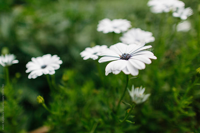 Pretty white flowers in field by Amir Kaljikovic for Stocksy United