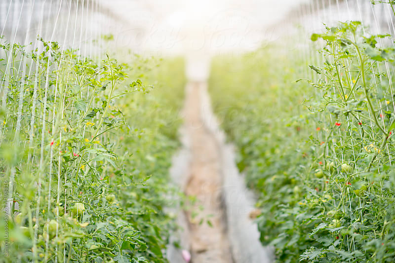Young tomato growing in greehouse by Lawren Lu for Stocksy United