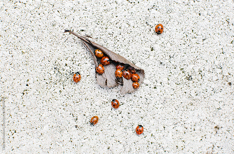 Ladybirds/Ladybugs emerging from a dead leaf by Darren Seamark for Stocksy United