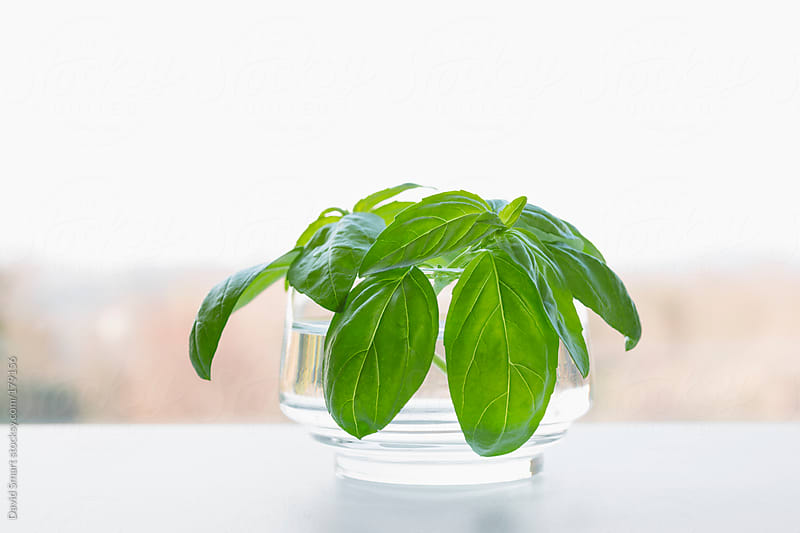 Sprigs of sweet basil in glass of water on kitchen windowsill by David Smart for Stocksy United