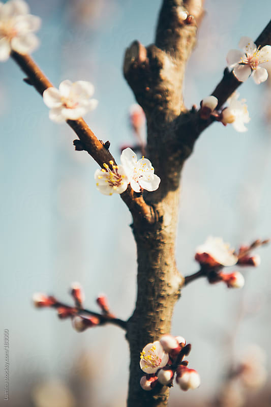 Cherry Blossoms by Lumina for Stocksy United