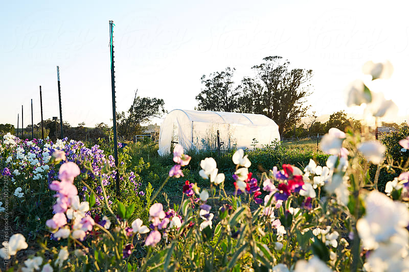 Small greenhouse on farm in Napa Valley, California by Trinette Reed for Stocksy United