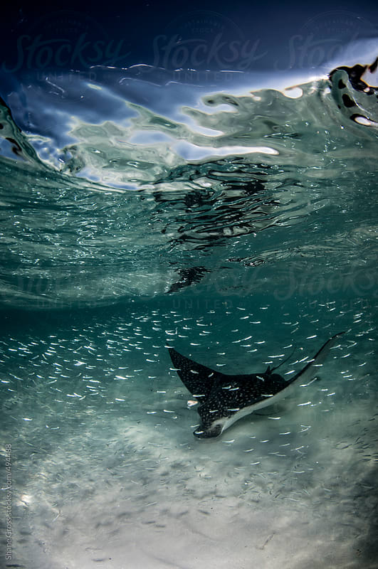 Feeding Eagle Ray Vertical by Shane Gross for Stocksy United
