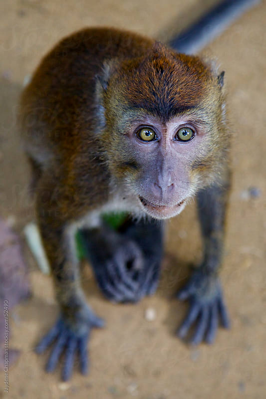 A green eyed monkey staring up at the camera lens, Palawan Island, Philippines by Jaydene Chapman for Stocksy United