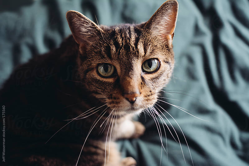 Tabby Cat on Bed Lookin Up by Jeff Wasserman for Stocksy United