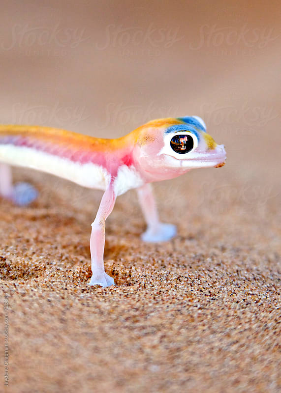 Tiny Palmato Gecko in the sand, Namibia, Africa by Jaydene Chapman for Stocksy United