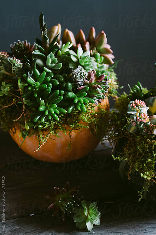 Pumpkins decorated with living succulents. by Helen Rushbrook for Stocksy United