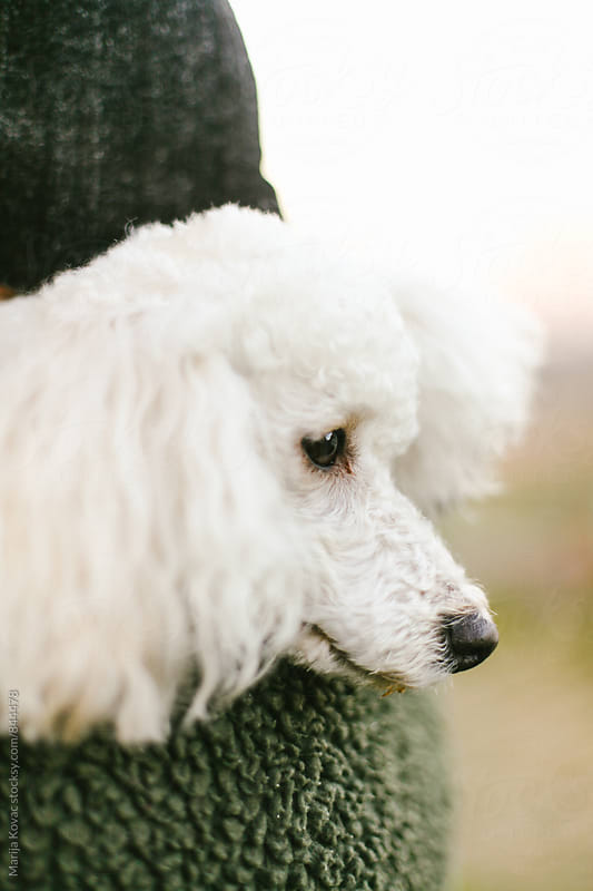 Portrait of a white poodle  by Marija Kovac for Stocksy United
