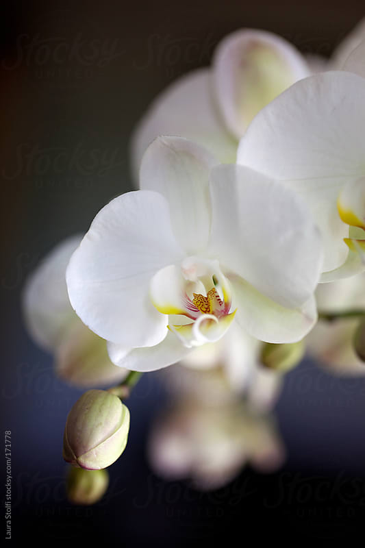 Extreme close-up of white orchids in bloom by Laura Stolfi for Stocksy United
