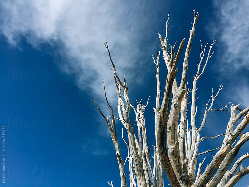 Remains of dead Whitebark pine tree in the High Sierra by Paul Edmondson for Stocksy United