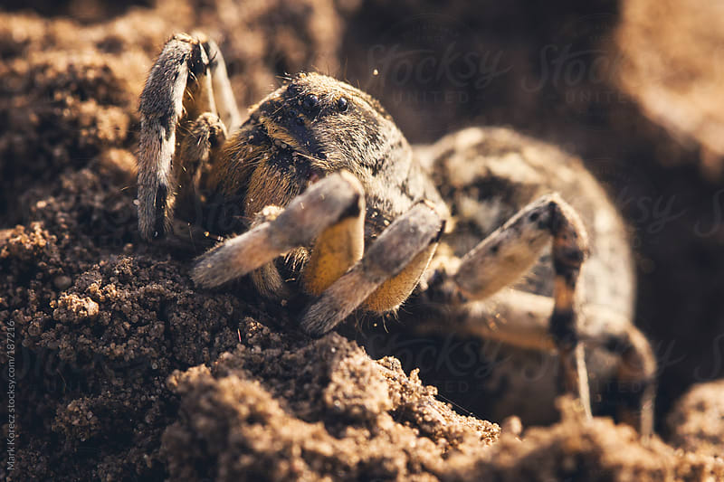 Spider at its hole by Mark Korecz for Stocksy United