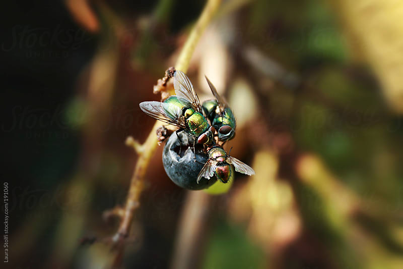 Three greenbottle flies eating grape from the plant by Laura Stolfi for Stocksy United
