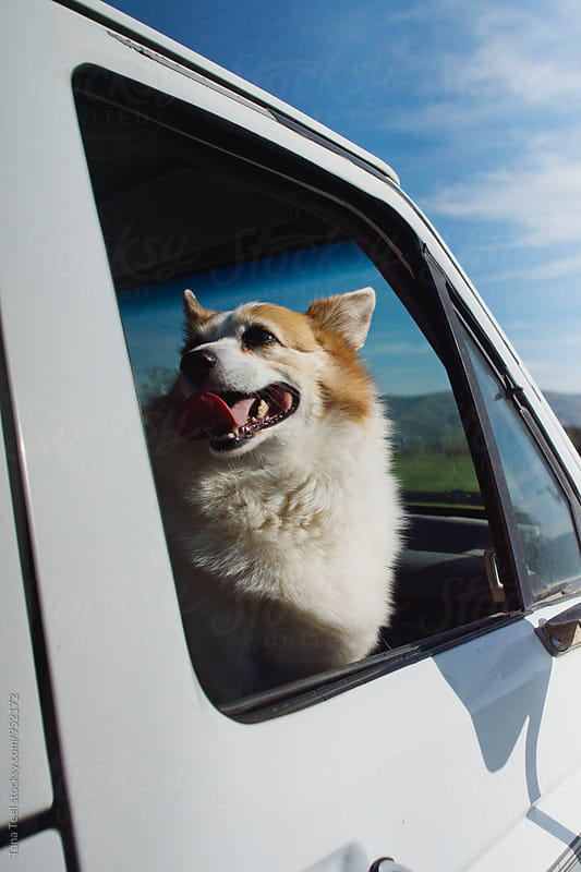 corgi mix in passenger of pickup by Tana Teel for Stocksy United