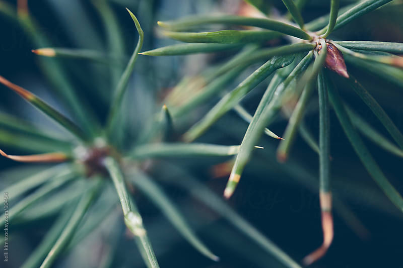 Macro image of a young conifer by kelli kim for Stocksy United