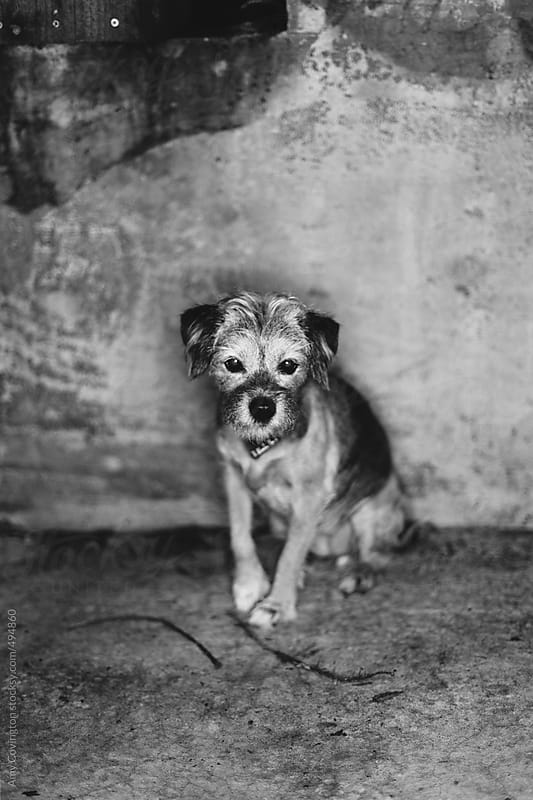 Black and white portrait of a cute little dog by Amy Covington for Stocksy United