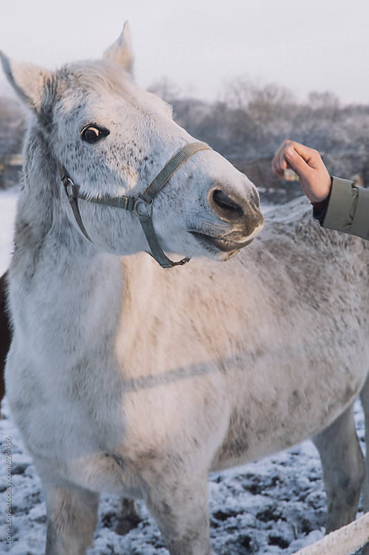 Male hand petting white horse by Lior + Lone for Stocksy United