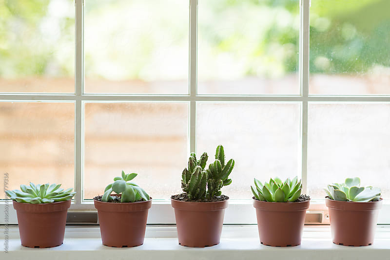 Various succulents and cacti displayed on a windowsill by Melissa Ross for Stocksy United