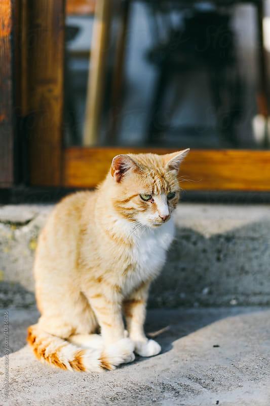 Yellow cat outdoor by Marija Kovac for Stocksy United